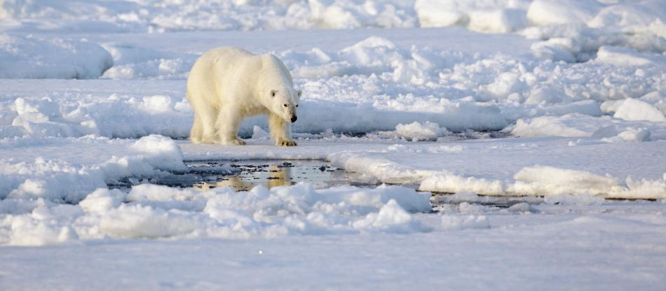 Polar bear walking on broken ice