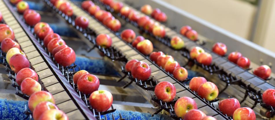 Apples on a conveyer belt